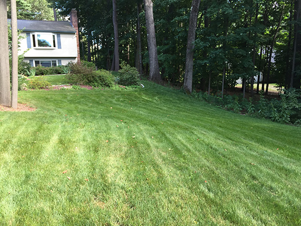 Beautiful organic lawn after mowing