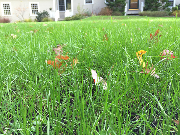 Up close look at an organic lawn