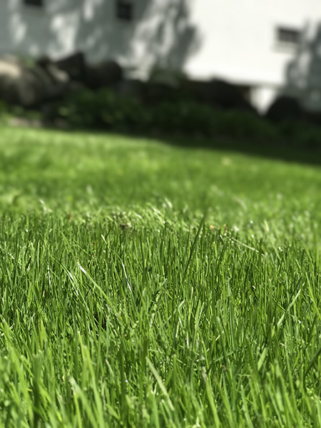 Thick green organic lawn in Bedford NH