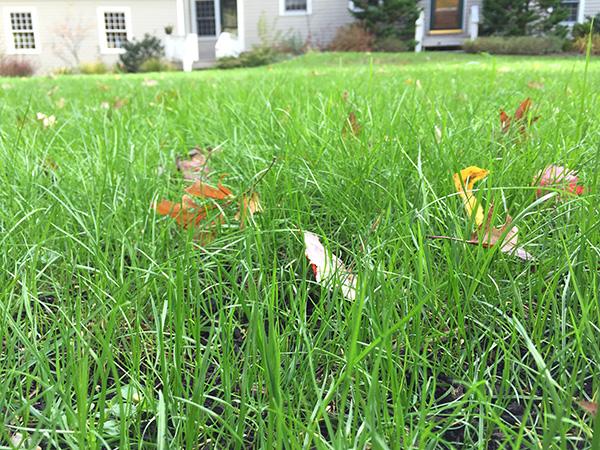Up close look at an organic lawn